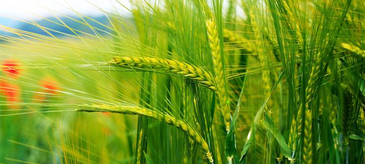 全国9亿亩小麦将发生病虫害,全国农技中心发布防控方案!