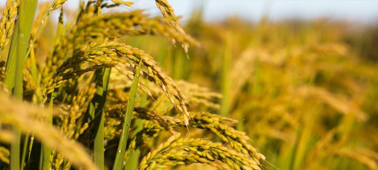 水稻病虫害有那些?浅谈水稻常见病虫害的防治措施